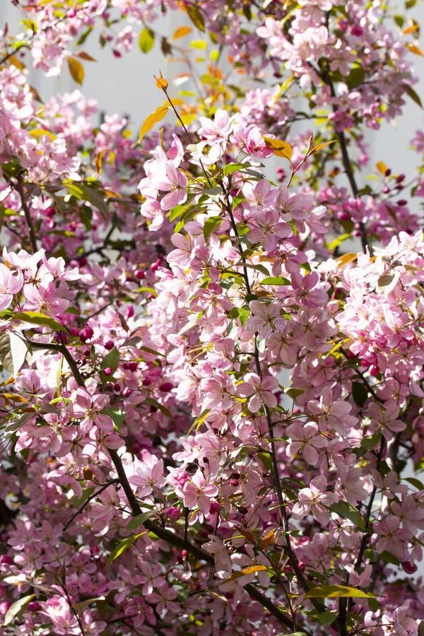 Ris av att blomstra äppleträdet med rosa purpurfärgade blommor för krabba, bakgrund arkivfoto