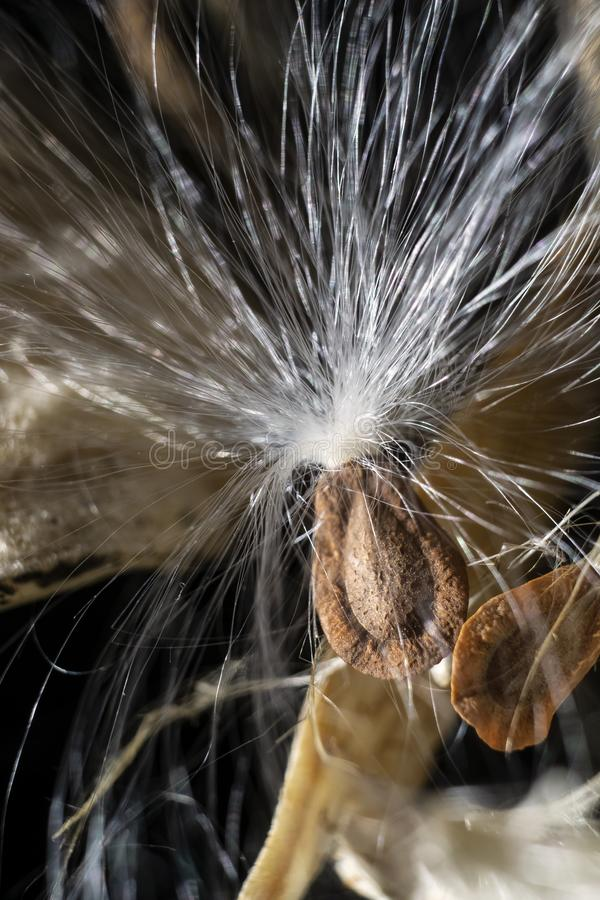 Ris av blommaMilkweedörter arkivfoto