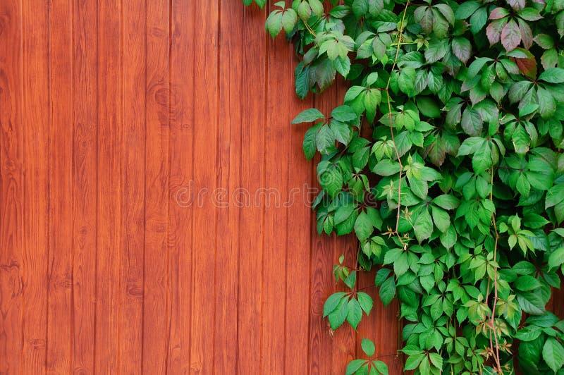 Ris av murgrönan på ett trästaket fotografering för bildbyråer