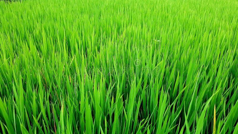 Ris i fältet, Sa-PA-dal, Vietnam royaltyfria bilder