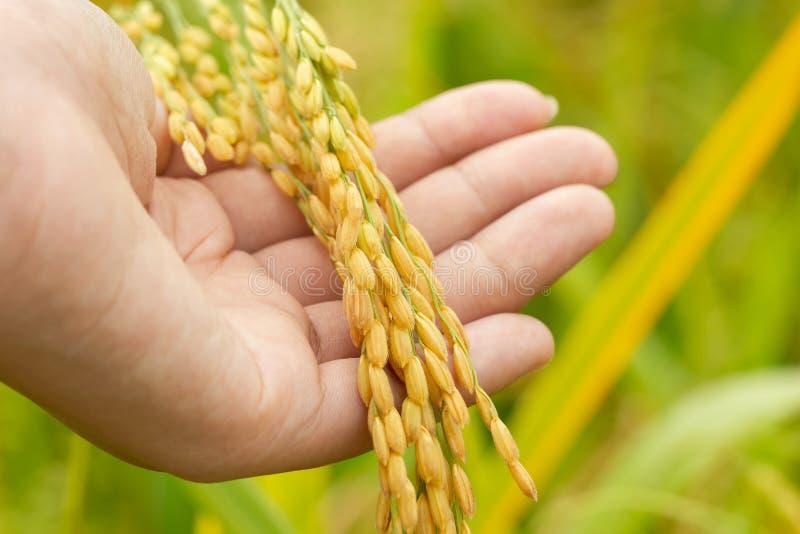 Ris kärnar ur i hand på risfältlantgården i morgonen royaltyfri bild