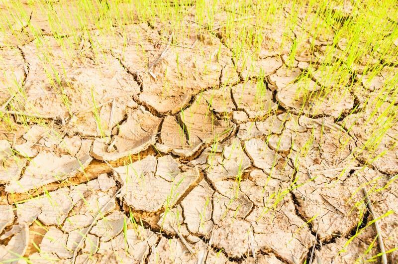 Ris på torkafält royaltyfri foto
