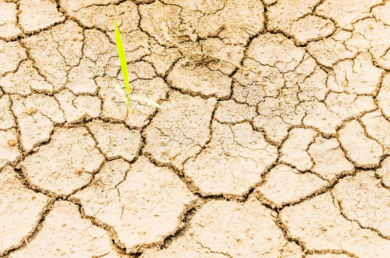 Ris på torkafält arkivfoton