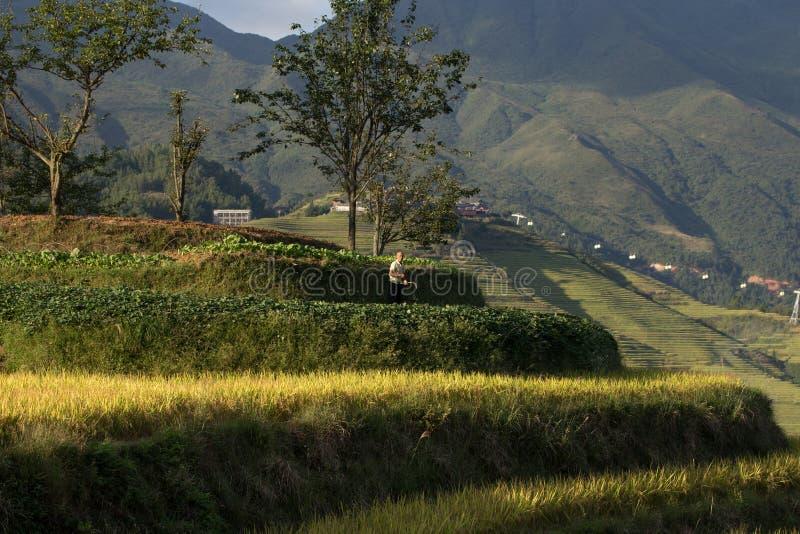 Ris som planterar Longji risterrasser arkivbilder