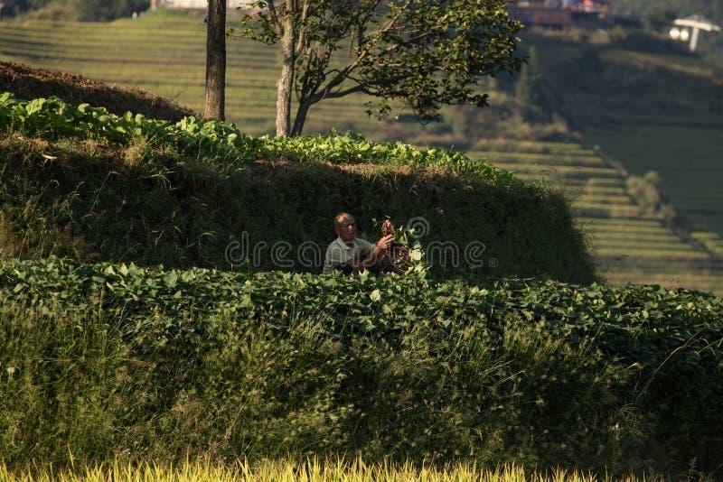 Ris som planterar Longji risterrasser royaltyfri foto