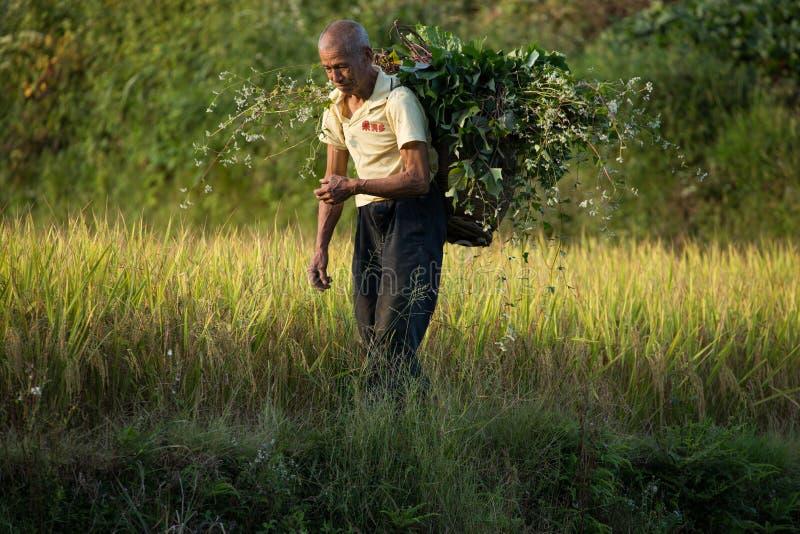 Ris som planterar Longji risterrasser royaltyfria foton