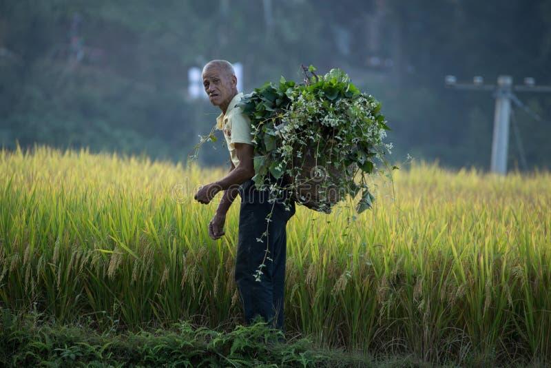 Ris som planterar Longji risterrasser royaltyfri fotografi