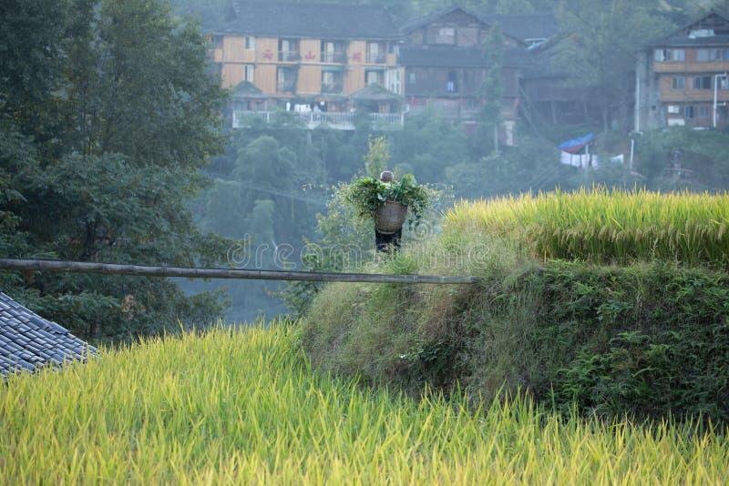 Ris som planterar Longji risterrasser royaltyfria bilder