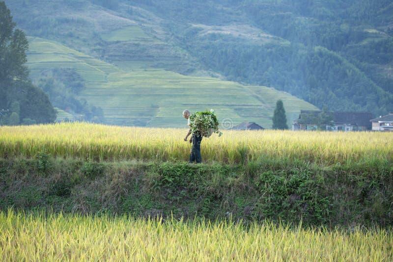 Ris som planterar Longji risterrasser arkivbild