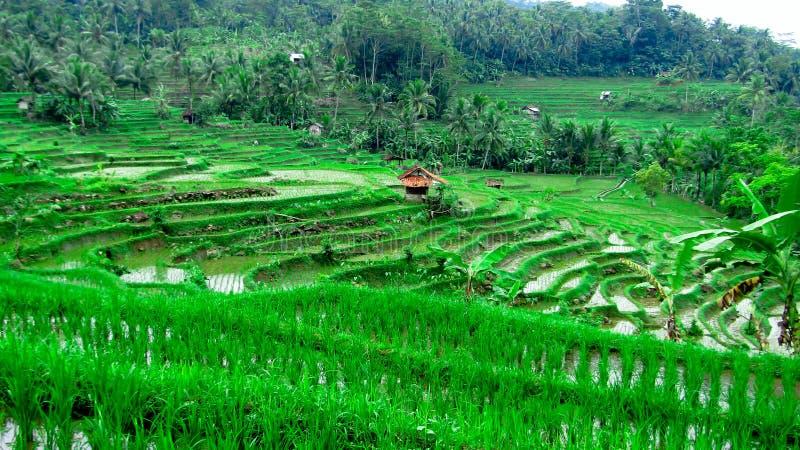 Ris terrasserar fältet, i Tasikmalaya, västra Java, Indonesien arkivbild