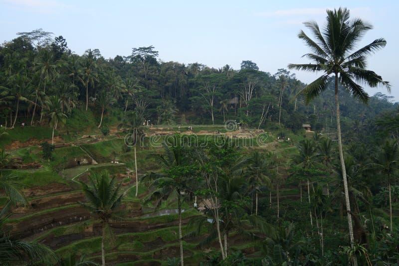 Ris terrasserar ubudtegalalang eller tegallalang med kokospalmen arkivbild