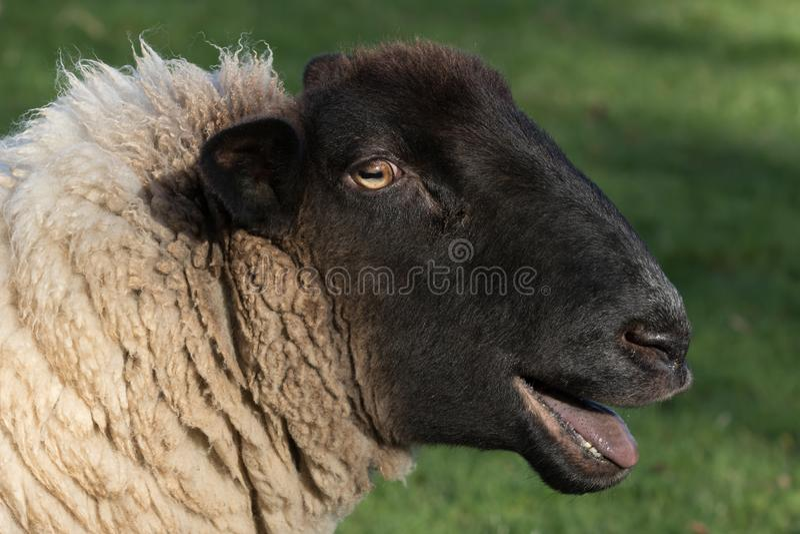 Risa feliz de las ovejas de la comedia imagen de archivo