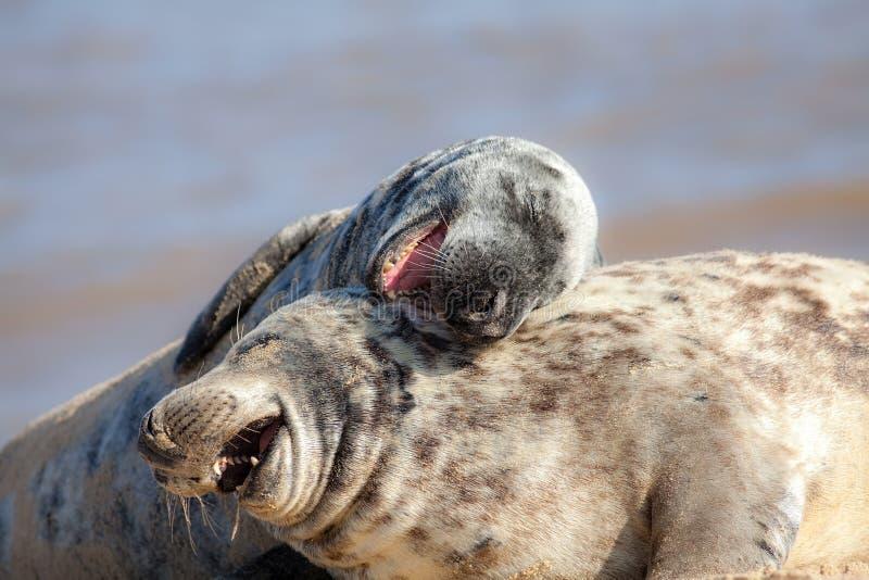 Risa hacia fuera ruidosamente Imagen animal divertida del meme Animales que se divierten fotos de archivo