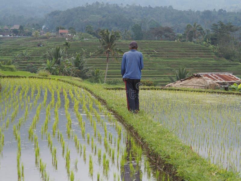 Risaia, agricoltore osservando le irrigazioni in Bali, Indonesia fotografie stock