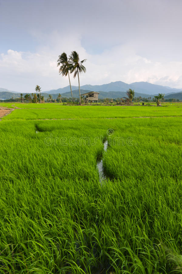 Risaia con cielo blu a Kota Marudu, Sabah, Malesia orientale immagini stock