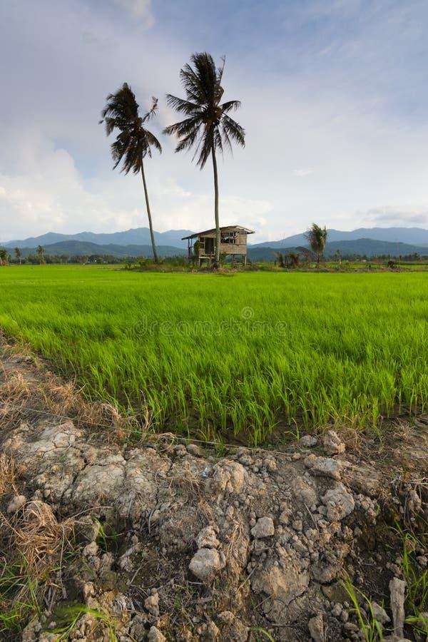 Risaia con cielo blu a Kota Marudu, Sabah, Malesia orientale fotografie stock libere da diritti