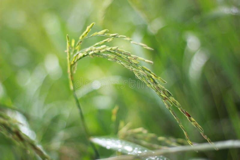 Risaia e foglie verdi immagini stock