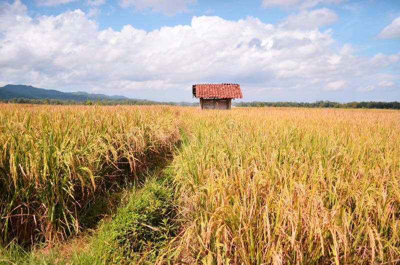 Risaia in purworejo Indonesia del villaggio del brenggong fotografia stock