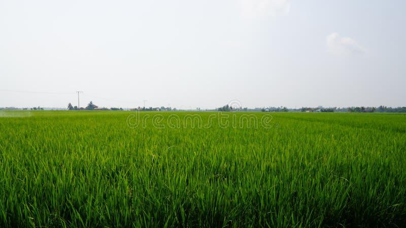 Risaia a Tanjung Karang Selangor immagine stock