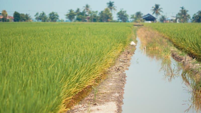 Risaia a Tanjung Karang Selangor fotografia stock libera da diritti