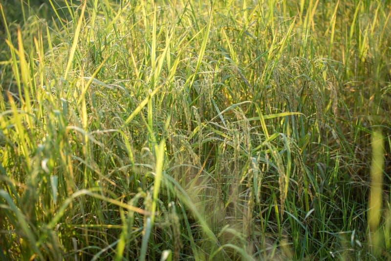 Risaia verde fertile nel giacimento del riso Sorgente immagini stock