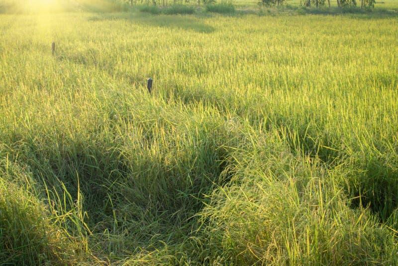 Risaia verde fertile nel giacimento del riso Sorgente fotografie stock