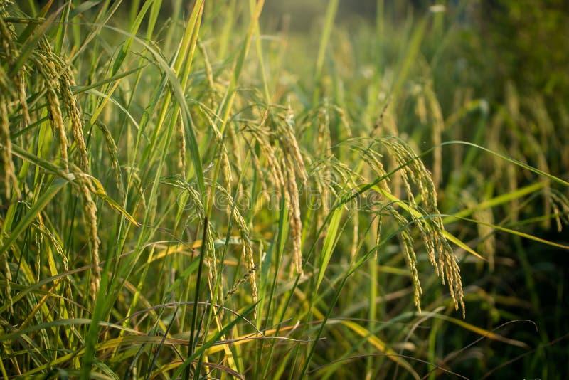Risaia verde fertile nel giacimento del riso Sorgente fotografia stock