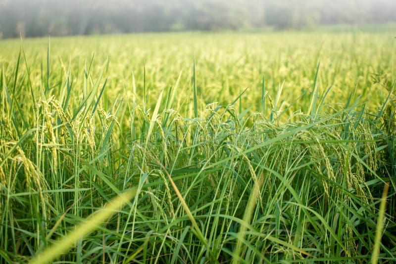 Risaia verde fertile nel giacimento del riso Sorgente fotografie stock libere da diritti