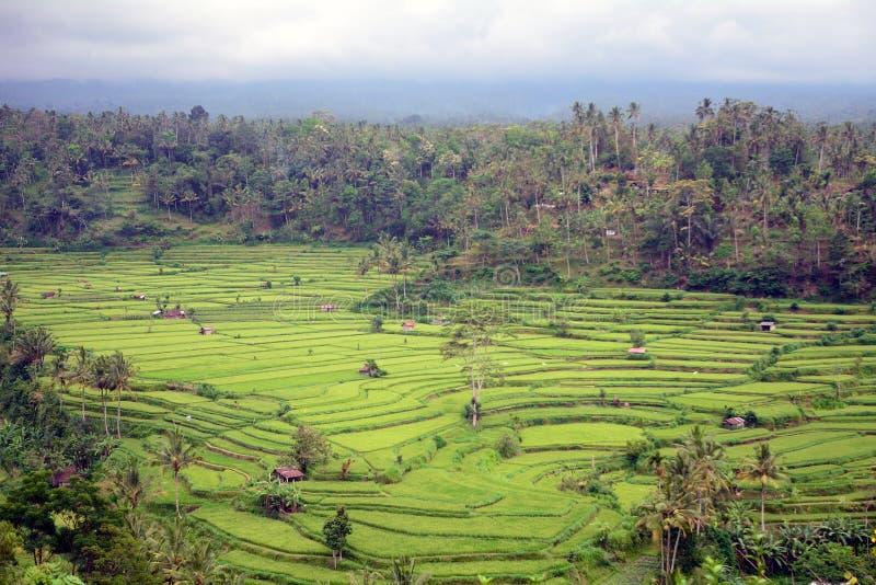 Risaie, Bukit Jambul, Bali, Indonesia fotografia stock