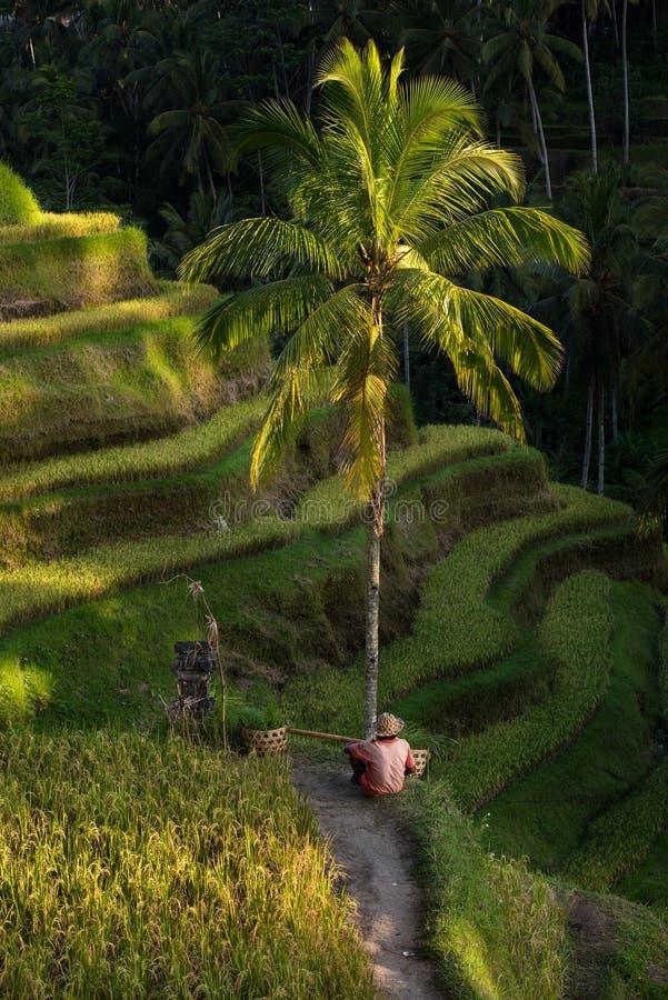 Risaie e agricoltore Ubud, Bali, Indonesia fotografia stock libera da diritti