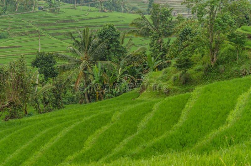 Risaie e palme fertili verdi fotografia stock libera da diritti