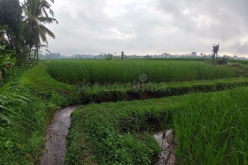 Risaie e terrazzi verdi enormi vicino alla giungla di Bali nella regione di Ubud Percorsi di camminata, stagione delle pioggie Ca fotografia stock