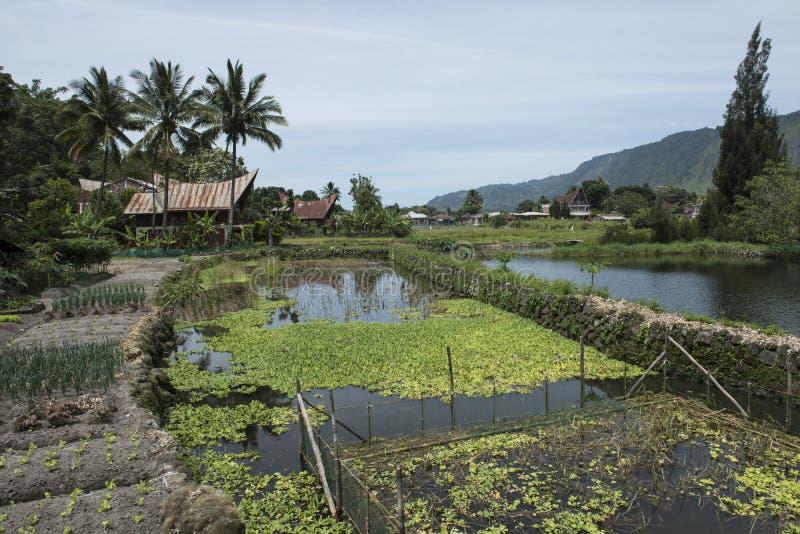 Risaie nel lago Toba, Sumatra fotografie stock