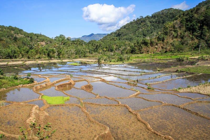 Risaie nella bella e campagna lussuosa intorno al Nusa Tenggara di bajawa, isola di Flores, Indonesia immagine stock