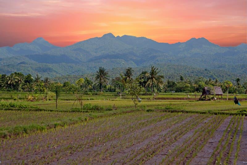 Risaie su Lombok in Indonesia fotografia stock libera da diritti