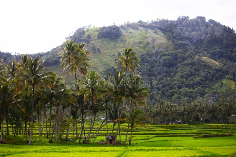Risaie in Sumatra ad ovest immagine stock