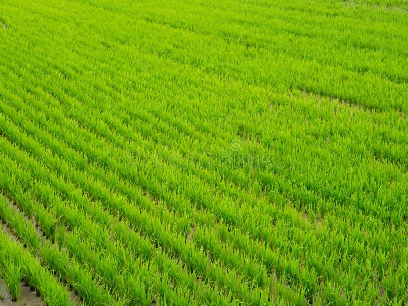 Risaie verdi asiatiche Immagine del primo piano Vista superiore dei risi risaia, Corea del Sud fotografie stock libere da diritti