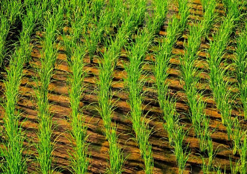 Risaie verdi coltivare in Tailandia immagini stock libere da diritti