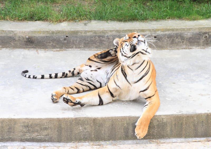 Riscando o tigre foto de stock royalty free