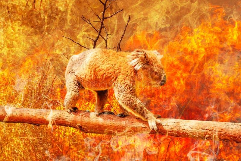 Rischio di sopravvivenza Koala immagine stock libera da diritti