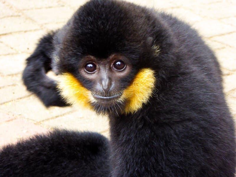 Risco com crista do Cao-vit Gibbon imagens de stock royalty free