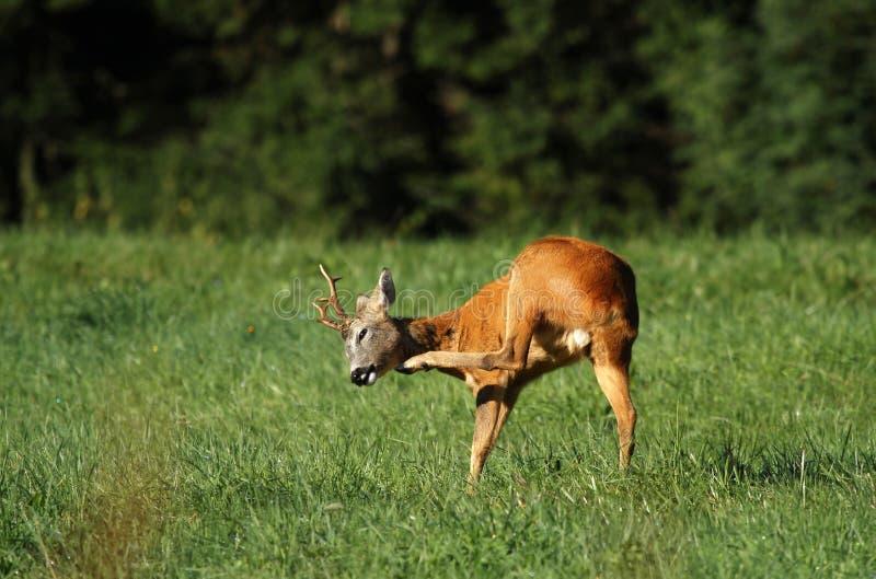 Risco dos cervos das ovas fotografia de stock