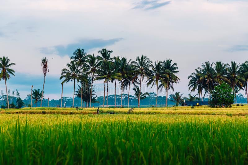 Rise fields with coconut palms and cloud. In Bali royalty free stock images