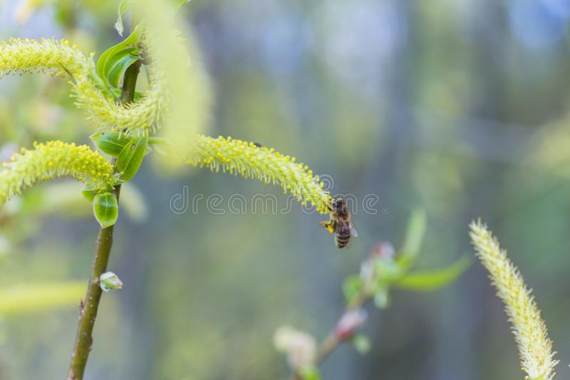Risen blooming inflorescences male flowering catkin or ament on a Salix alba (white willow) in early spring before the leaves. Col. Lect pollen from flowers and royalty free stock image