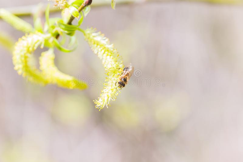 Risen blooming inflorescences male flowering catkin or ament on a Salix alba (white willow) in early spring before the leaves. Col. Lect pollen from flowers and stock photo