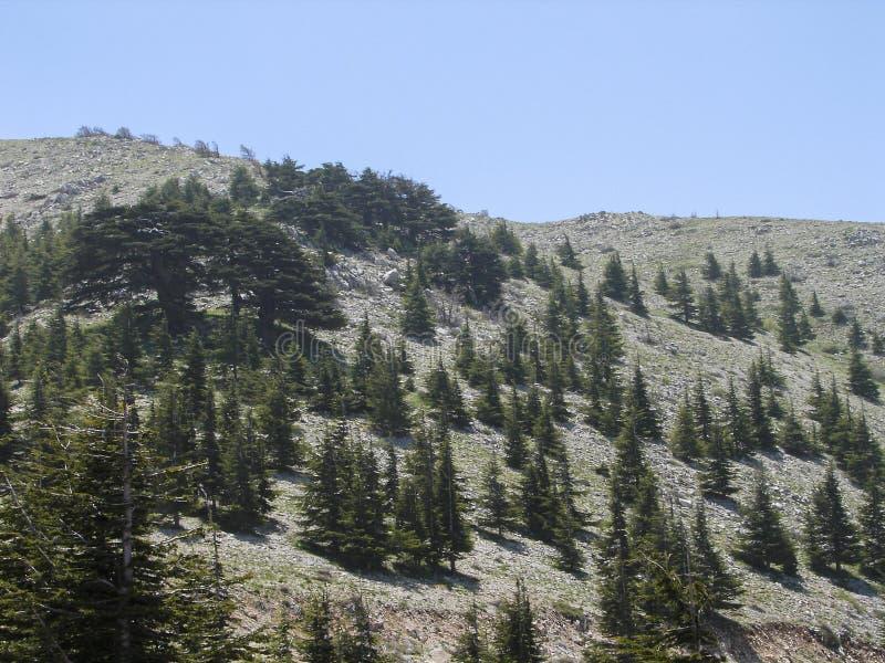 Riserva del cedro nel Libano durante la molla fotografie stock