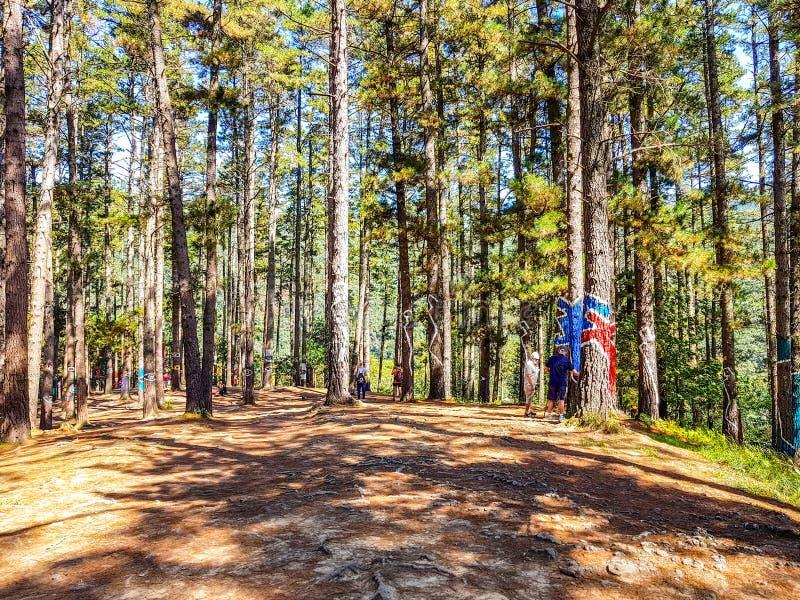 Riserva di biosfera di Urdaibai, Bizkaia, Spagna; 2018-04-16: Tronchi del pino dipinto in EL bosque de Oma immagini stock