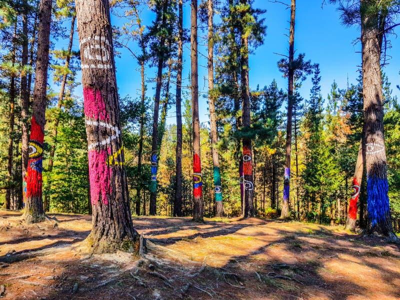 Riserva di biosfera di Urdaibai, Bizkaia, Spagna; 2018-04-16: Tronchi del pino dipinto in EL bosque de Oma fotografia stock