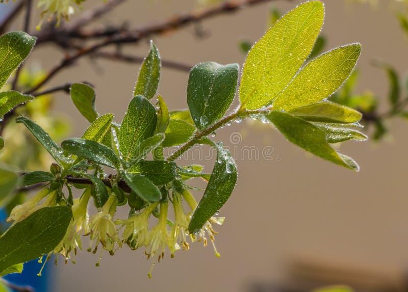 Riset av kaprifolen med gröna päls- sidor och vita blommor fotografering för bildbyråer