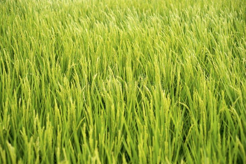 Risfält 1 arkivfoton
